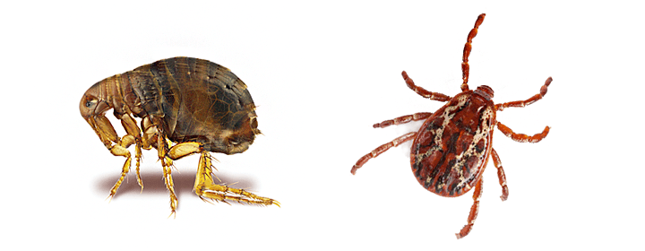 Are Fleas Dangerous For Human