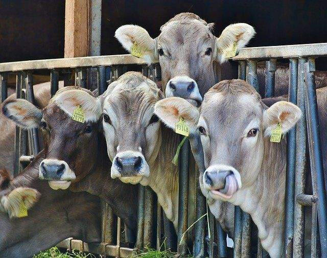 Small Herds Cattles And Their Maintenance: